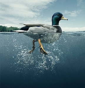 duck-above-water