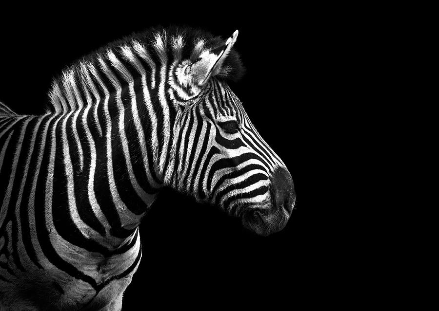 Image result for zebras not horses