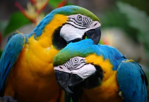 Colorful_Parrots_Couple